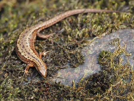 viviparous: Lizard in the forest