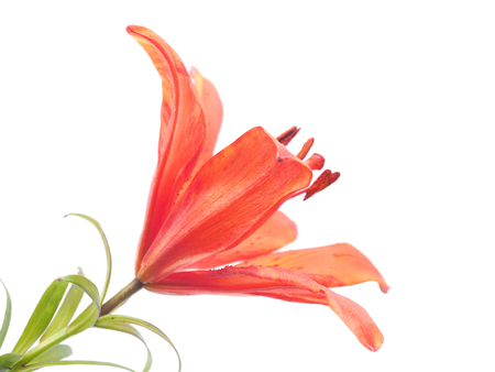 tiger lily: Tiger Lily on a white background