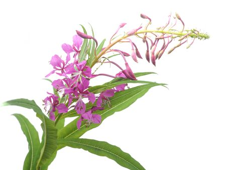 flowers of Willow-herb (Ivan-tea) on a white background Standard-Bild