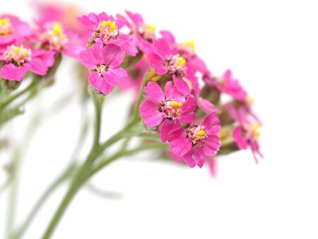 officinal: Yarrow on a white background
