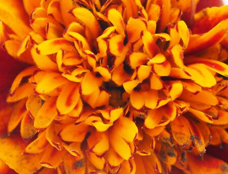 patula: Marigold close up Stock Photo