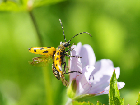 barbel: Flower barbel (Brachyta interrogationis) on a flower Stock Photo
