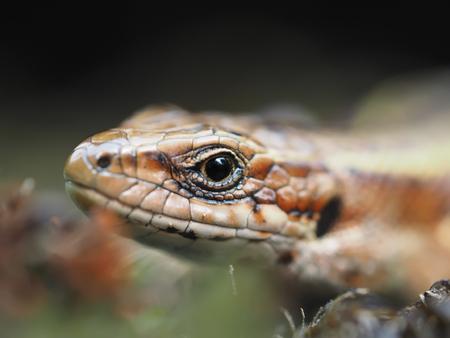 viviparous lizard: Lizard in the forest