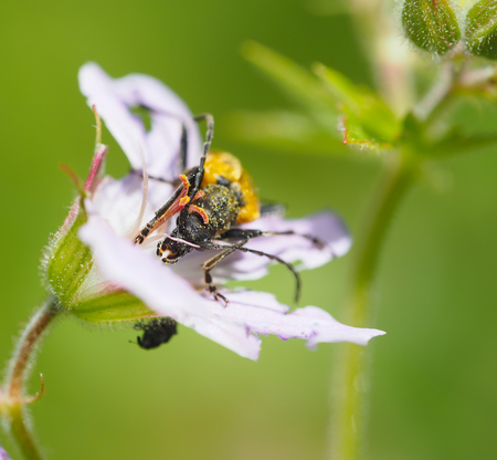cerambycidae: Flower barbel (Brachyta interrogationis) on a flower Stock Photo