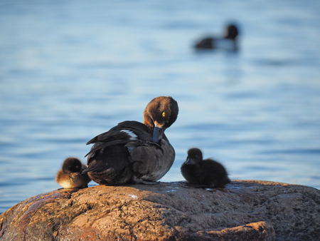 ducklings: duck with ducklings on the lake