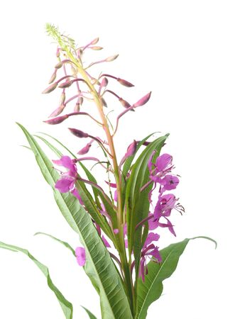 angustifolium: flowers of Willow-herb (Ivan-tea) on a white background Stock Photo