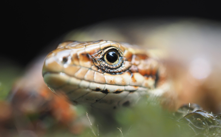 vivipara: Lizard in the forest