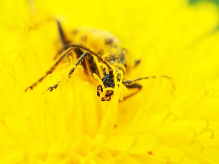 cerambycidae: Flower barbel (Brachyta interrogationis) on a yellow flower