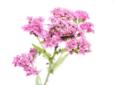 milfoil: bugs on yarrow on a white background