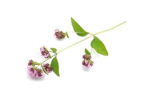 oregano: oregano flowers on a white background