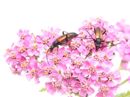 yarrow: bugs on yarrow on a white background