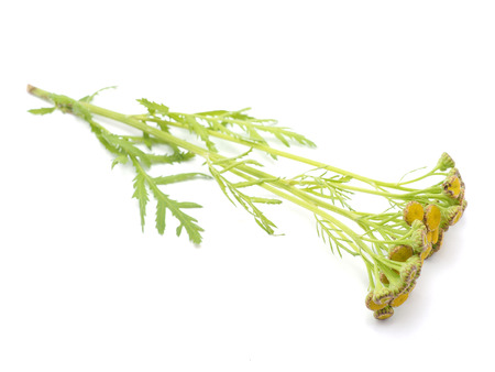 bile: Tansy on a white background Stock Photo