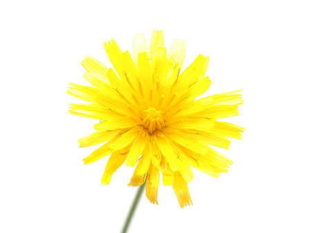 hawkweed: crepis flower on a white background Stock Photo