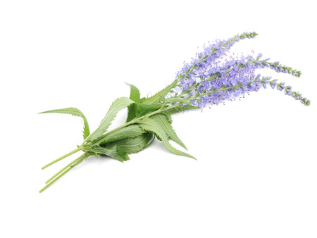 high angles: Veronica spicata on a white background Stock Photo
