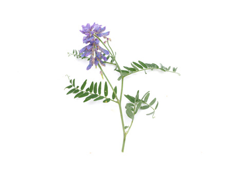 vetch: Tufted Vetch flowers isolated on white (Vicia Cracca)