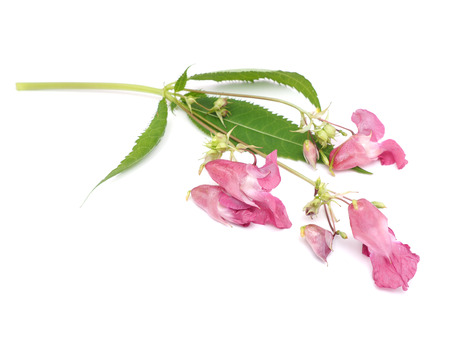 balsam: balsam flowers on a white background