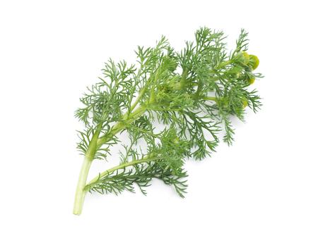 matricaria: Herbs pineappleweed (Matricaria discoidea) on a white background