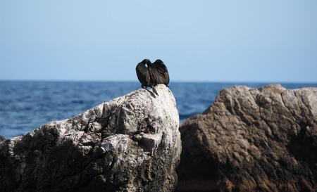 great: Great Cormorant