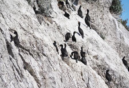 cormorant: Great Cormorant
