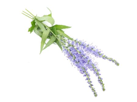 veronica flower: Veronica spicata on a white background Stock Photo