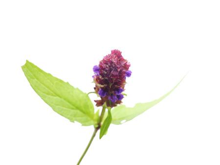 prunella: Brunella vulgaris on a white Stock Photo