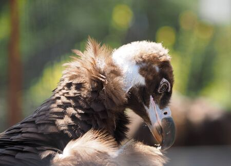 vulture: Vulture at the zoo Stock Photo