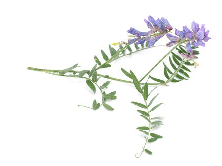 faboideae: Tufted Vetch flowers isolated on white (Vicia Cracca)
