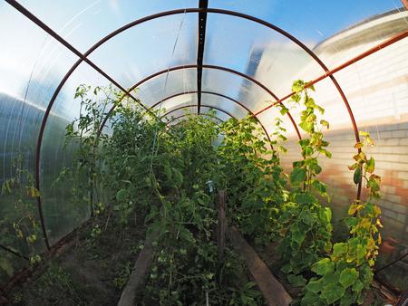 market gardener: in a greenhouse Stock Photo