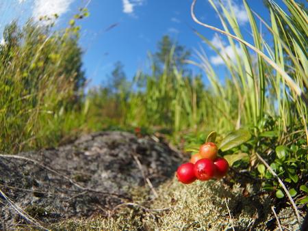 arandanos rojos: arándanos en el bosque