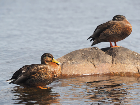 water fowl: duck on the lake