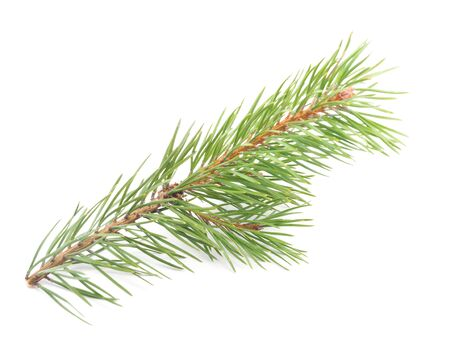 branch isolated: pine branches on a white background