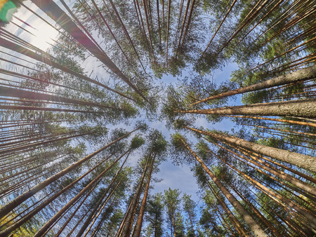 from below: view of pine trees from below