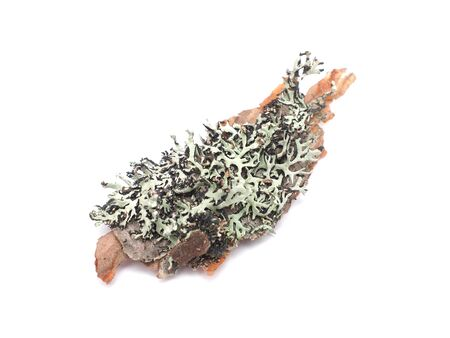 Lichen on a white background