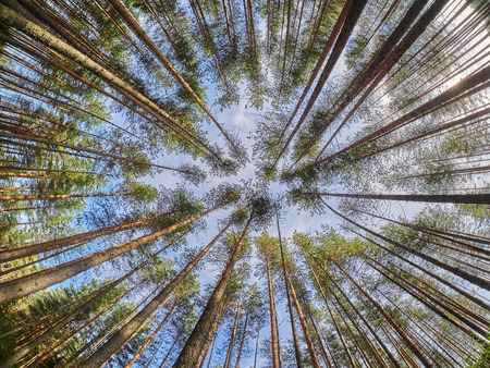 directly below: view of pine trees from below