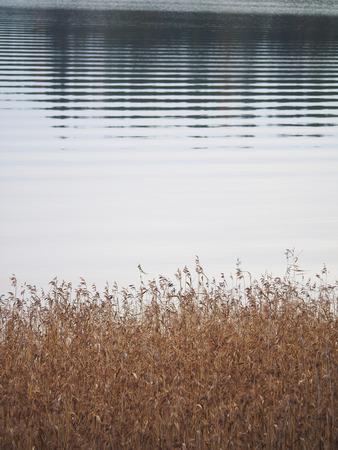 canne: canne secche sul lago