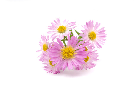 pink perennial aster on a white background Reklamní fotografie