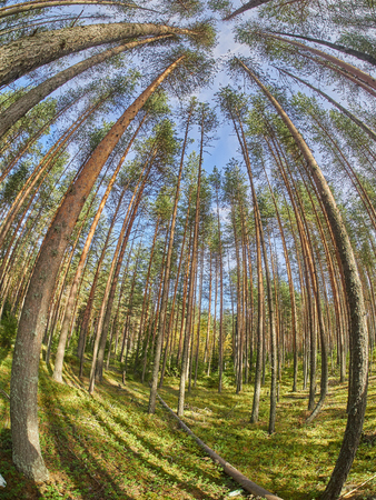 low angle views: view of pine trees from below