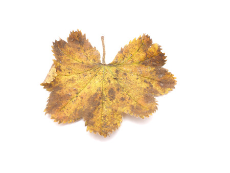 officinal: Ladys Mantle leaves isolated on white