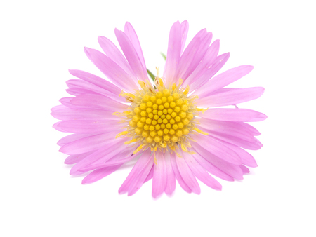 pink perennial aster on a white background Stock Photo