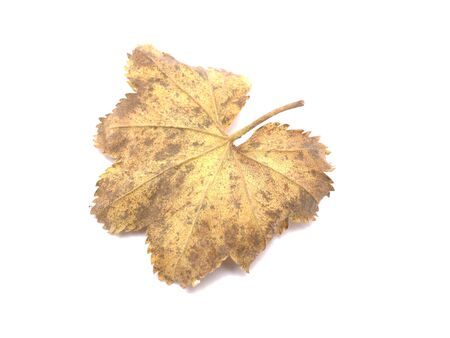 ladys mantle: Ladys Mantle leaves isolated on white