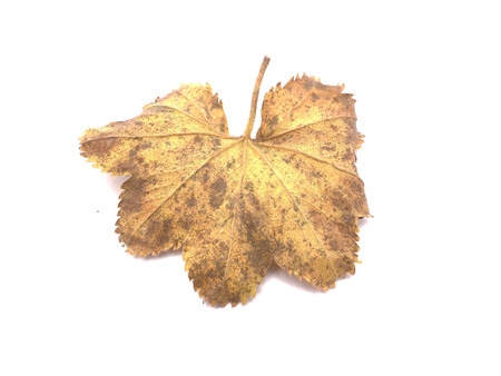 alchemilla mollis: Ladys Mantle leaves isolated on white