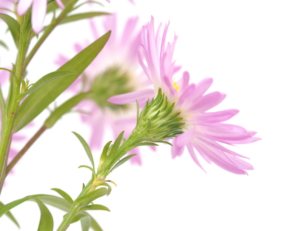 perennial: pink perennial aster on a white background Stock Photo
