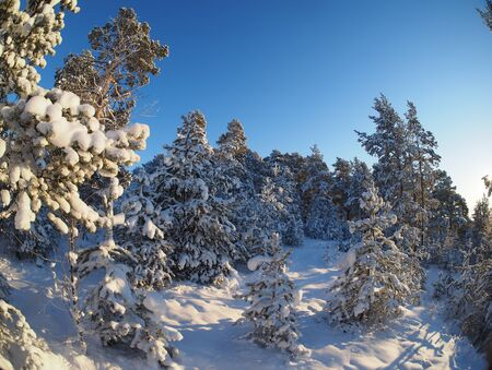 january sunrise: Pine forest in winter Stock Photo