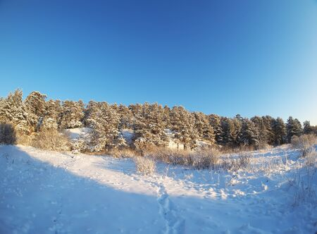 frosty morning: Pine forest in winter Stock Photo