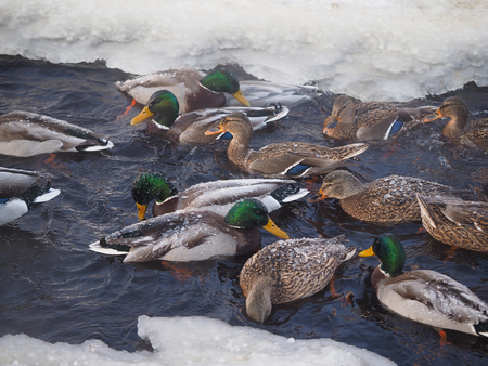 underbrush: Duck on the river in winter Stock Photo