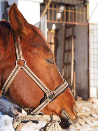 red horse: Portrait of a red horse