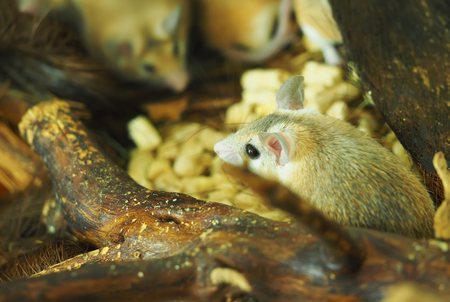 spiny: spiny mouse in a cage Stock Photo