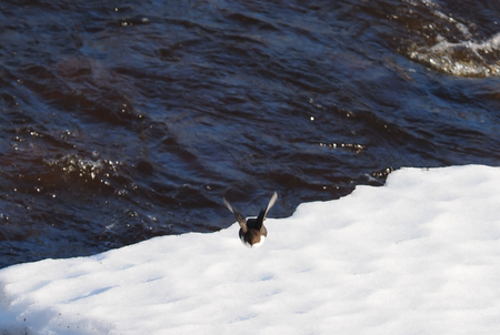 brown throated: Dipper in the snow