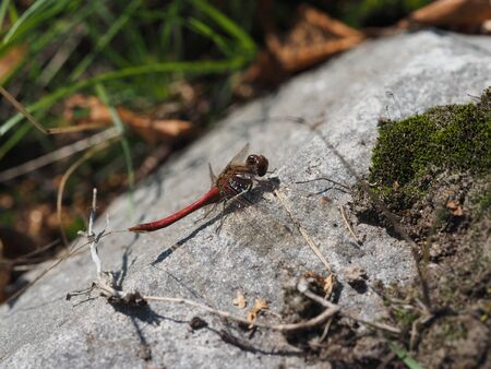 adorn: dragonfly on stone Stock Photo