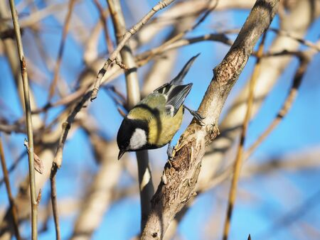 mealworm: Tit in the forest Stock Photo